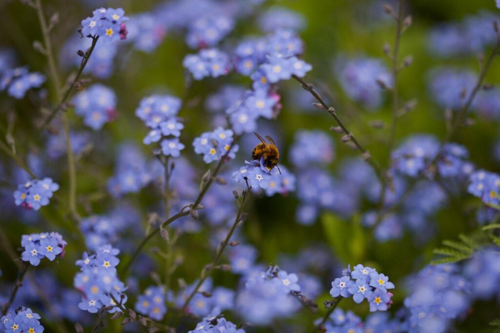 Vergissmeinnicht mit Wildbiene